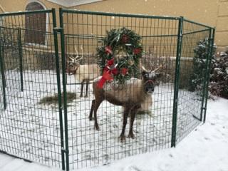 The Reindeer!