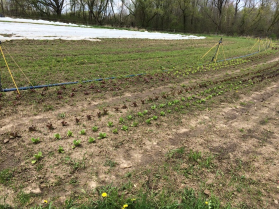 Our source for produce this summer! I think that's lettuce coming up! We get our first share in 2 weeks!